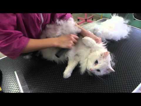 Toilettage d'un chat  poil long en coupe nounours au salon de toilettage Aux Pat'De Velours