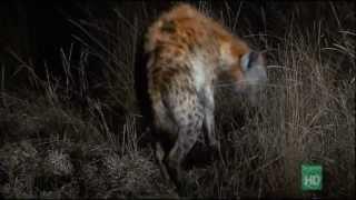 Phim | Thế giới động vật Bầy đàn linh cẩu | The gioi dong vat Bay dan linh cau