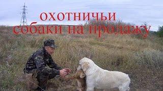 охотничьи собаки на продажу