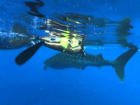 Swimming with a Whale Shark Offshore K Bay Hawaii