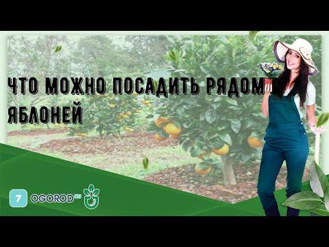Что можно посадить рядом с яблоней