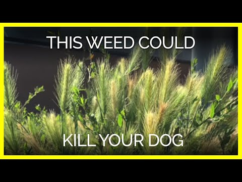 This Weed Could Kill Your Dog