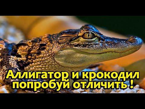 Как отличить аллигатора от крокодила!