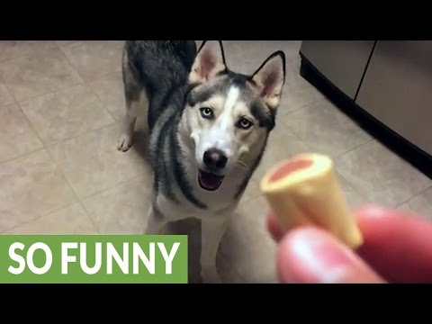 Husky shows off his newly learned tricks