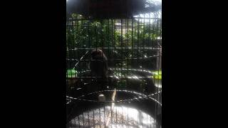 Burung Poksay Mandi 17