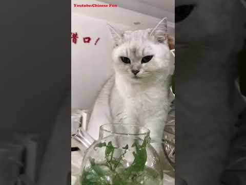 CHINESE FUN Cute Funny Cat Kitten Videos Compilation No.5 2018