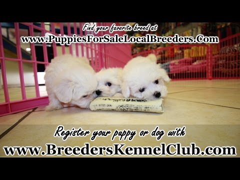 BICHON FRISE PUPPIES FOR SALE LOCAL BREEDERS