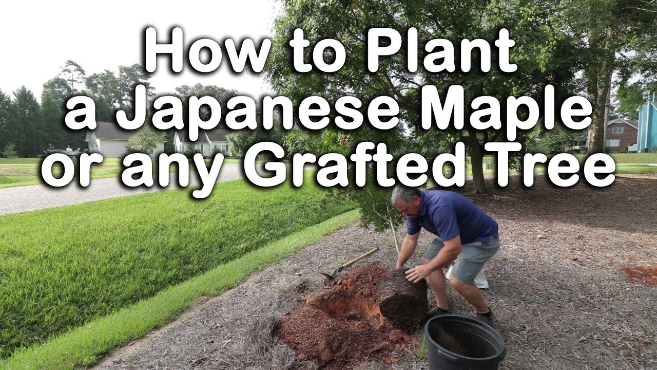 How To Plant A Japanese Maple How To Plant Grafted Trees Youtube