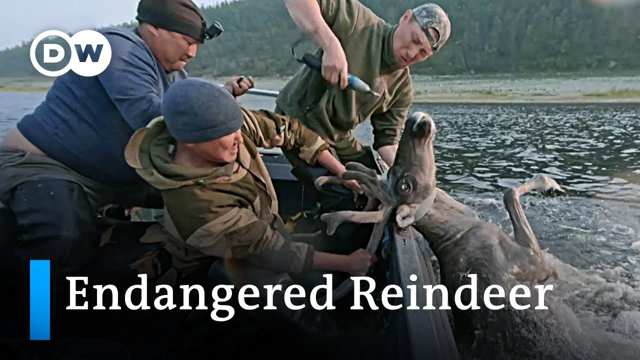 Climate Change and Russia's Arctic reindeer