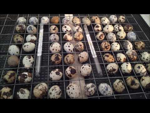 Инкубация перепелиных яиц. Режим инкубации перепёлок. Наш метод.