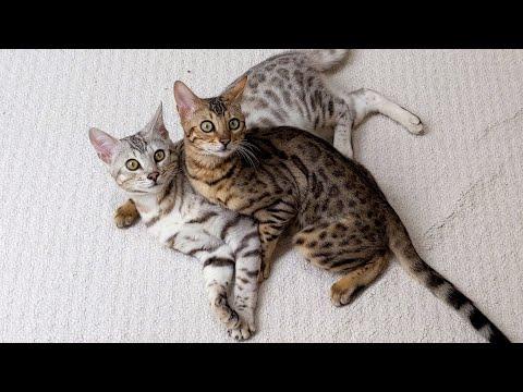 Bengal Kitten Misses His Owner 😿   4K