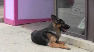 Protection Dogs Ccpd -  German Shepherd Stud Dog Nicco