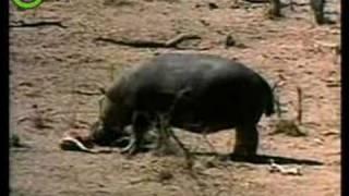Nijlpaard met EHBO-diploma!