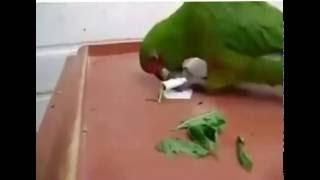 как попугаи купить коноплю(, 2016-12-06T13:35:05.000Z)