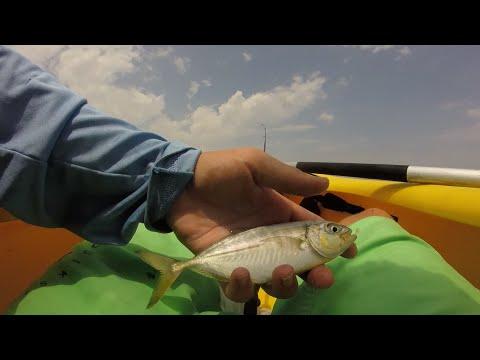 Multi Species Kayak Fishing in Ocean City, Maryland + RARE fish caught in Maryland!!