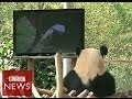 Can TV cheer up a bored panda? BBC News