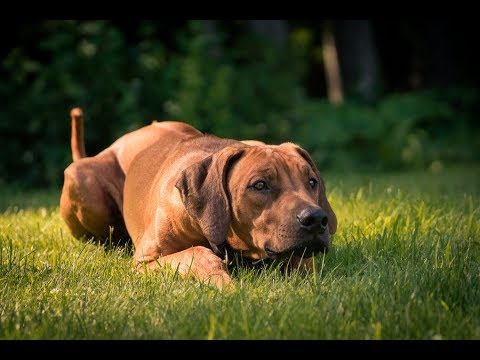 Why I Bring My Rhodesian Ridgebacks on Vacation