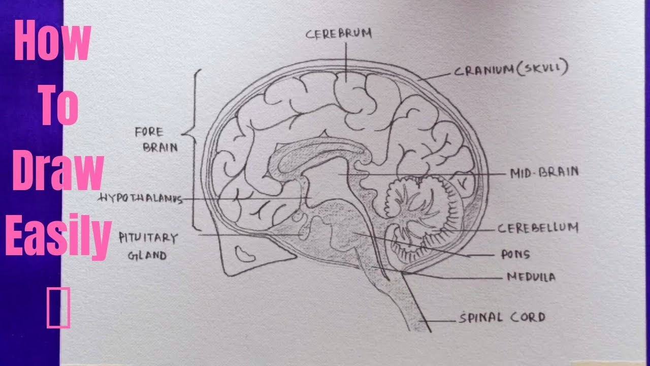 How To Draw Diagram Of Human Brain Easily