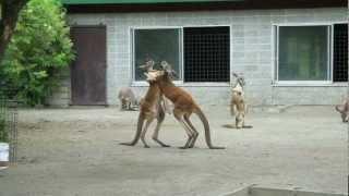 動物園に行ったらカンガルーが戦っていました。尻尾をまるで3本目の足...