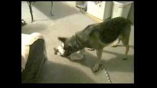 Brittany Spaniel Pup takes on German Shepherd