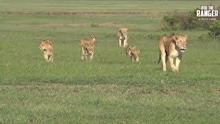 Big Lion Pride Plus Lucky Warthogs | Maasai Mara Lions