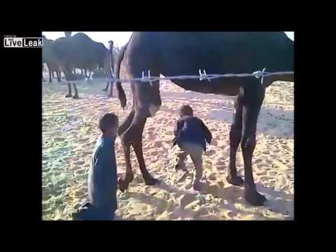 A horse, A camel and A cow Vs. Three Saudis thumbnail