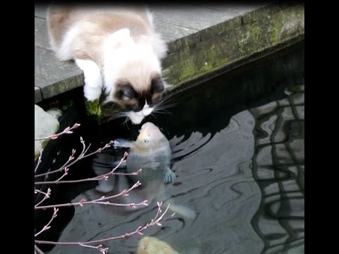 Timo The Cat And His Special Friendship With One Particular Koi Fish (compilation)
