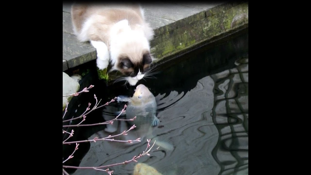 Koi Fish Eating Cat