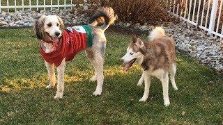 CHRISTMAS SWEATER DOG BATTLE! Siberian Husky vs. Burnedoodle