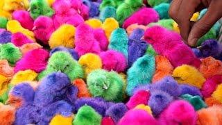 САМЫЕ удивительные живые крашеные цыплята! - Live chickens dyed
