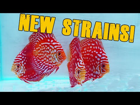 Awesome New Discus Fish!
