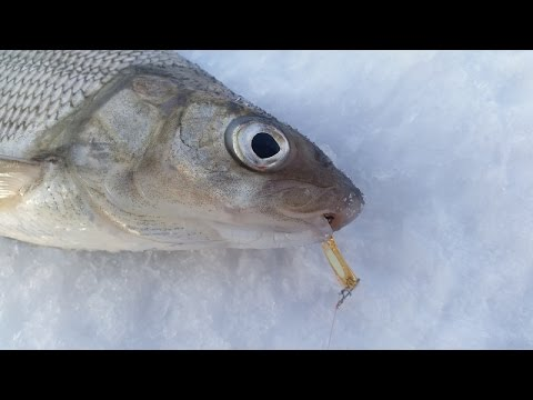 Gull Lake Alberta Ice Fishing Whitefish Perch Pike And Walleye