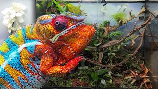 Bioactive Panther Chameleon Vivarium - 50 Different Species of Plants!