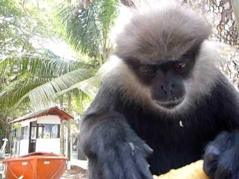 Sri Lanka,ශ්රී ලංකා,Ceylon,Monkey eating (02)
