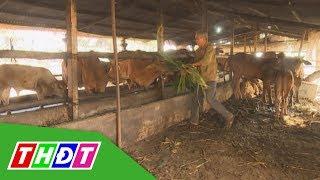 Trồng xoài, nuôi bò sinh sản cho thu nhập cao | THDT