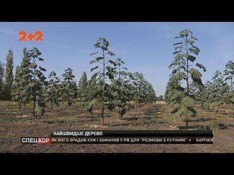 В Україні набирає обертів промислове вирощування унікального дерева – павловнії