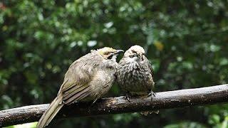 Download Suara Burung CUCAK ROWO GACOR  Untuk Masteran dan pancingan CUCAK MP3 song and Music Video