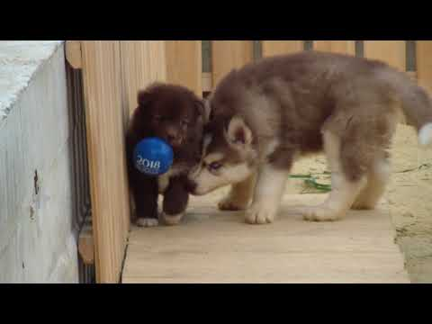 Finnish Lapphund and Siberian Husky