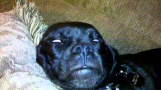 My dog Beretta during REM Sleep