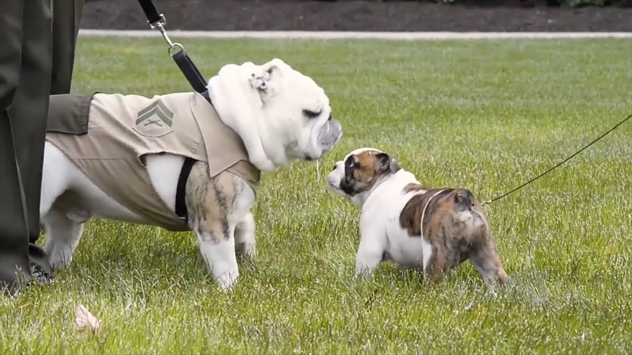 Watch Marine Corps New Bulldog Puppy Meet Other Mascots Youtube