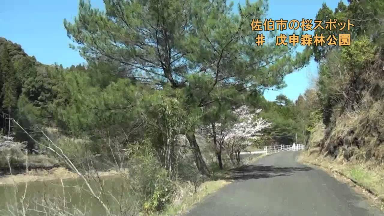 戊申森林公園の桜:大分県佐伯市...