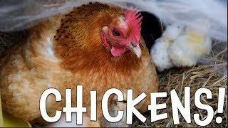 Chickens!  Learn about Chickens for Kids