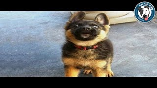 Funniest & Cutest German Shepherd Puppies #8 - Funny Dogs Compilation 2018