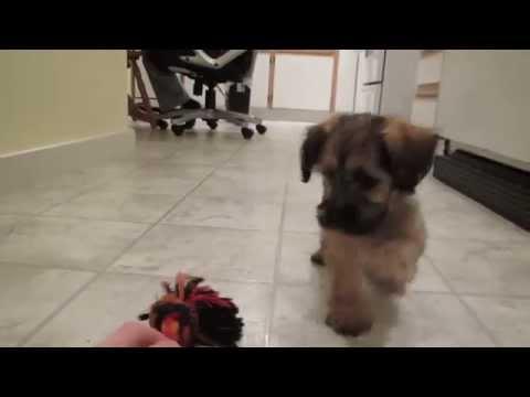 adorable-yorkie-x-maltipoo-pup-enjoying-play-time!