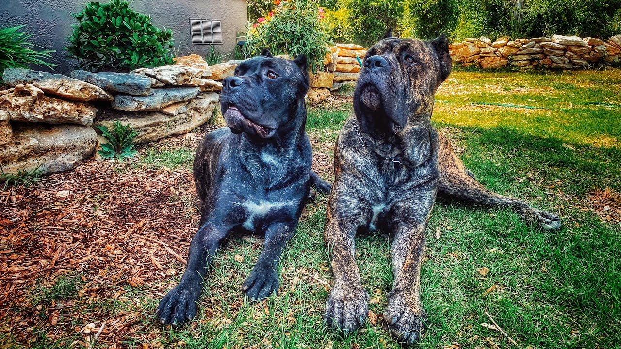 We have exciting news here at Senza Tempo Cane Corso!!