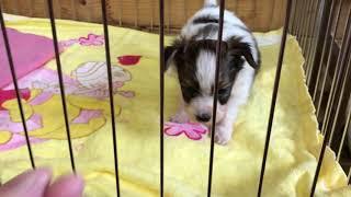 パピヨン 男の子 全国優良ブリーダーの子犬紹介サイト『みんなのブリー...
