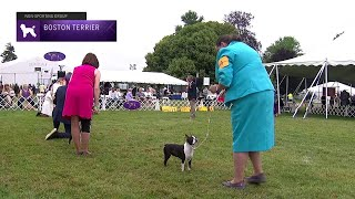 Boston Terriers | Breed Judging 2021