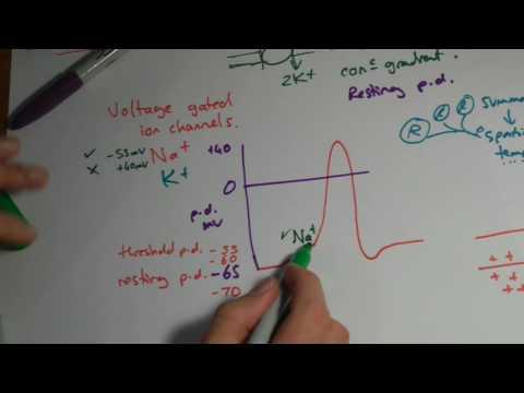 A2 Biology - Action potentials