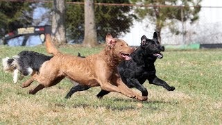 Professional Dog Training - How we integrate new dogs into our in-kennel training program!