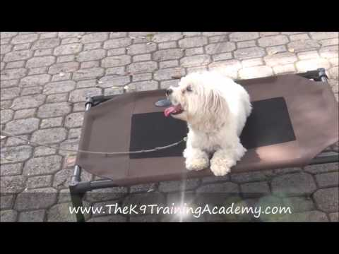 Fernando a Maltese doing his Basic Obedience - The K9 Training Academy